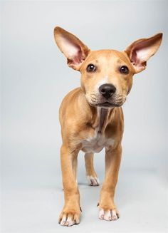Delachaise the Pit Bull Mix new orleans, puppies, planet puppi, bowl lineup, anim planet, dog, animal planet, puppi bowl, bowls
