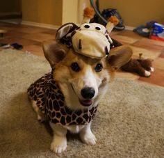 Corgnelius, you silly dog. Giraffes have LONG legs not SHORT ONES! | Meet Corgnelius, The Cutest Corgi Ever