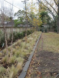 River birch and Mexican feather grass @ Mid-century modern in Meyerland - landscape - houston - Ravenscourt Landscaping and Design LLC
