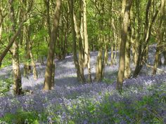 Love love loved going to  the woods to run amongst the Bluebells, Loughborough