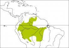 Rufous-bellied Euphonia (Euphonia rufiventris)