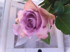 Det hvite liv Rose, Flowers, Plants, Pink, Plant, Roses, Royal Icing Flowers, Flower, Florals