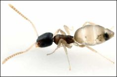 ghost ant - Google Search