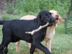 VoffAndMjau_HelenThompsonPhotography_LabradorPuppies_6675