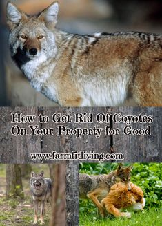Are you at your wit's end with coyotes? Here you'll find plenty of ways for how to get rid of coyotes on your property for good. #homesteading #livestockcare