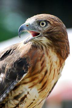 Red Tailed Hawk, by Francie Davis Beautiful Birds, Animals Beautiful, Cute Animals, Owl Bird, Pet Birds, Bird Of Prey Tattoo, Eagle Drawing, Bird Identification, Native American Images