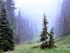 Trees and Fog, Mount Rainier National Park