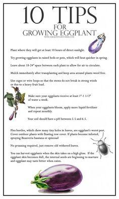 10 Tips for Growing Eggplant, vegetable garden, gardening tips, gardening Growing Eggplant, Growing Zucchini, Growing Veggies, Eggplant Plant, Zucchini Plants, Home Vegetable Garden, Fruit Garden, Edible Garden, Harvest Garden