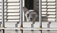 Siamese cat in window