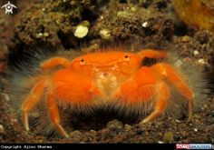 Hairy Crab - by Ajiex Dharma Underwater Sea, Underwater Creatures, Crab Stuffed Shrimp, Live Fish, Oceans Of The World, Water Life, Beautiful Ocean, Animals Of The World, Underwater Photography