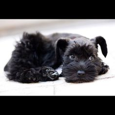 Our puppy at 10 weeks. Male Toy Schnauzer.