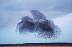 """A """"murmuration"""" of starlings--the amazing """"sky dance"""" huge flocks of these birds perform. See a video of a particularly beautiful one at https://vimeo.com/31158841"""