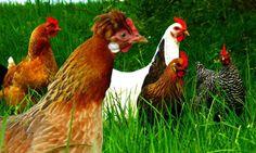 Die 10 schönsten Hühnerrassen, Dokumentation Hühner, Tiere, Chabos, Zw...
