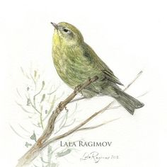 Orange-crowned warbler by Lala Ragimov   певун warbler bird birdwatching birding painting watercolour watercolor illustration classical art classical painting акварель