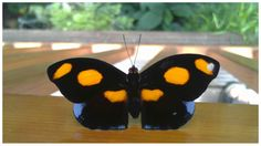Papillon Catonephele numilia mâle