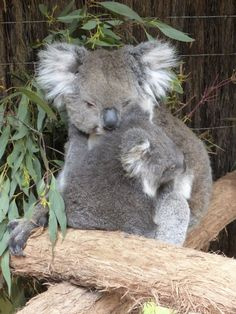 So cute! A mom and her baby at the Ballarat Wildlife Park in Victoria, Australia.