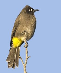 Cape Bulbul - coastal bush, open forest, gardens & fynbos in S. Three Birds, Kinds Of Birds, Life List, Birds Of Prey, Wild Things, Bird Watching, Bird Feathers, Beautiful Birds, Pet Portraits