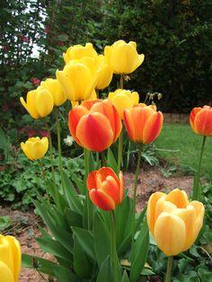 Tulips always seem to look good