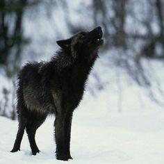 Beautiful Black wolf