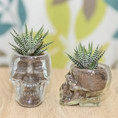 A spooky cool glass skull vase with a succulent growing inside. (it is very small, please check the dimensions before you purchase)Two sizes available.This terrarium kit comes with a glass skull vase, succulent compost, gravel, one succulent plant, and detailed assembly and care instructions. By following the assembly instructions, it will be super easy to put your terrarium together. The succulent in the skull terrarium is Haworthia. It need very little care and grows very slow. Perfect…