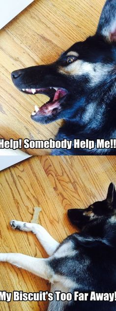 visit www.amazingdogtales.com for the best funny dog joke pics,inspirational dog stories and dog news.... GSD....Help! | Get a Free Consultation for your #dog from our Friends at Nature's Select naturalpetfooddel...