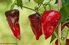 Chile Mulato - Pictures and Information about the pepper variety Chile Mulato - Capsicum annuum