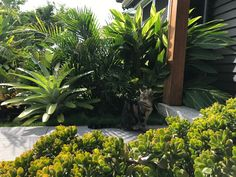Garden by My Verandah ~ crasula ovata in the foreground