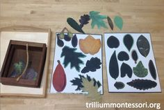 Learning About Leaves - Trillium Montessori
