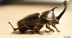 The Japanese rhinoceros beetle has a long, forked horn that males use to battle it out to get a girl. ~~ Seongbin Im/Flickr