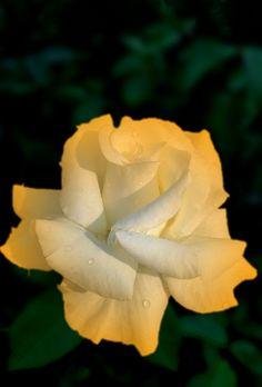 Helping Nature through Organic Gardening Beautiful Rose Flowers, Exotic Flowers, Beautiful Gardens, Beautiful Flowers, Rosa Rose, Rose Pictures, Hybrid Tea Roses, Arte Floral, Mellow Yellow