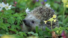 jeż z takiego artykułu http://zielonehobby.pl/9-pracowitych-zwierzat-w-ogrodzie-sprawdz-czy-juz-zagoscily-w-twojej-oazie-spokoju/