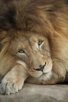 """Lion - What a majestic beauty! Think we all should sign petitions to SAVE wildlife from hunters & poachers.. So sad if humans trophy hunt them. How could then win a fight """"with bullets"""".... ? That isn't fair, isn't it!?"""