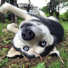 """""""Oh hai dere! Baby Dogs, Pet Dogs, Dogs And Puppies, Doggies, Malamute Husky, Husky Puppy, Husky With Blue Eyes, Baby Animals, Cute Animals"""