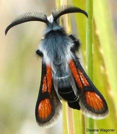 Clearwing Moth: Euhagena nebraskae - What's That Bug? Cool Insects, Flying Insects, Bugs And Insects, Wild Life, A Bug's Life, Beautiful Bugs, Beautiful Butterflies, Beautiful Creatures, Animals Beautiful