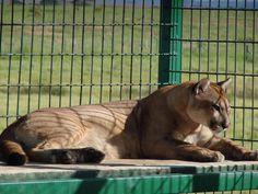 Suíte das Onças na GREEN FARM... Panther, Animals, Animales, Animaux, Panthers, Animal, Animais, Black Panther