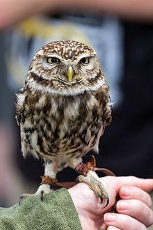 Little owl - Wikipedia