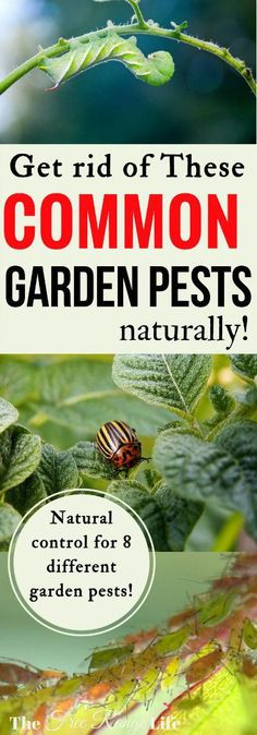 Your vegetable garden is your pride and joy, so how do you keep pests from destroying it? Here\'s how to get rid of 8 common garden pests naturally! #vegetablesgardening