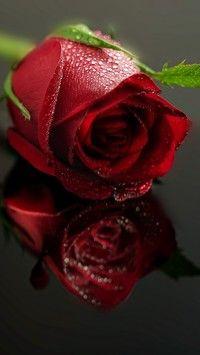 Przeglądająca się róża