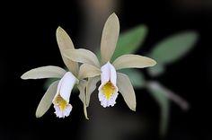 Cattleya forbesii Lindl. by Diih Loddiges, via Flickr