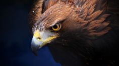beautiful golden eagle iphone7 wallpaper download high resolution
