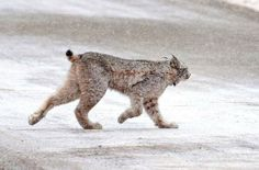 A male lynx crosses a road just outside of Silverton during a snow squall on Saturday. The elusive cats were reintroduced in Colorado in 1999...