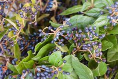 Viburnum berry Autumn Foliage at New Covent Garden Flower Market - October 2015 New Covent Garden Market, Flower Market, Berry, October, Autumn, Flowers, Plants, Christmas, Victoria