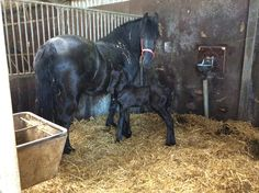 Our second #mare #foal has been born last sunday! For us, #spring has started!