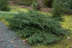 Taxus baccata 'Repandens' | 3-5 ft, rounded, spreading. Prefers moist, well-drained, sandy loam soils. Tolerates calcareous to acidic soils and shade. Intolerant of heavy, wet, clay soil. Dioecious with inconspicuous  owers produce red fruit in Sept.– Nov. Seeds are hard and toxic. Used for seasonal color and massing. Develops an informal arching habit over time.