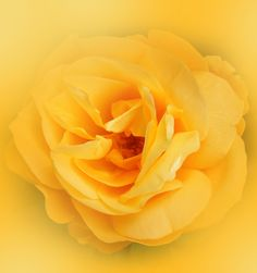 Yellow Rose Flower Bright and Bold
