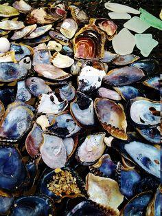 black and bluish shells found North Shore, Ohau, Hawaii