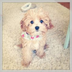 My cutie Cavapoo, Laceykins!