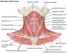 Muscles of the neck: