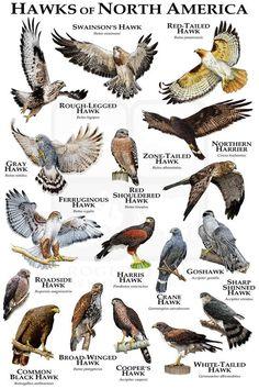 Hawks of North America Poster Print / Field Guide - Maure Spinks Hawk Species, Bird Species, Animals Of The World, Animals And Pets, Rapace Diurne, Bird Facts, Hawk Bird, Bird Identification, Especie Animal