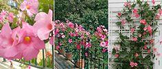 Trepadeiras lindas para florir o jardim